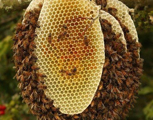 Дикий мед из джунглей — одно из тайных богатств Таиланда